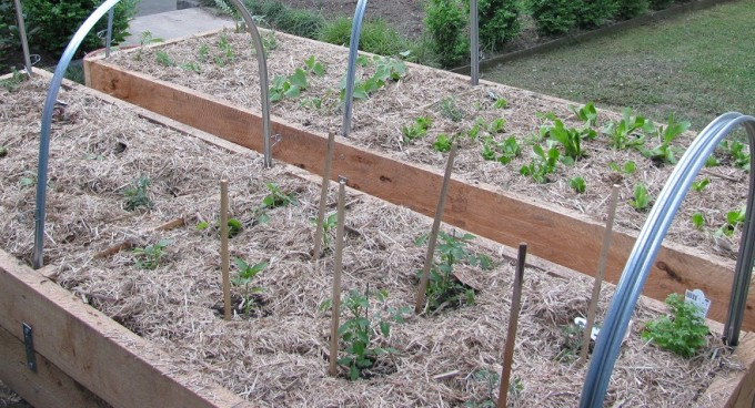 A veggie patch from scratch sustainable gardening australia for Veggie patch design