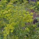 Parsnip seeds1