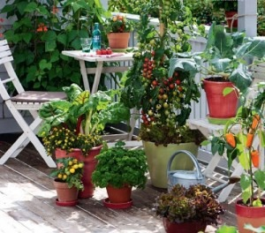 How to plant veggies on balcony