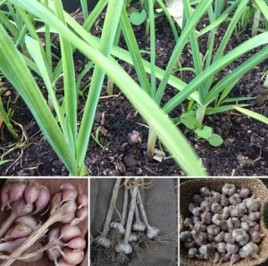 Sustainable Home Grown Garlic Master Class - Penny Woodward @ Footscray City College - Environmental Science Centre;  | Footscray | Victoria | Australia