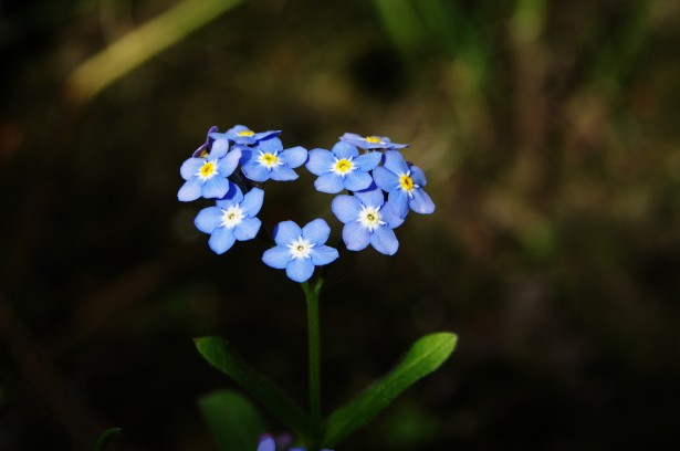 forget-me-not-heart
