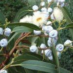 Eucalyptus globulis