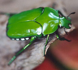 Christmas Beetle.Christmas Beetles Sustainable Gardening Australia