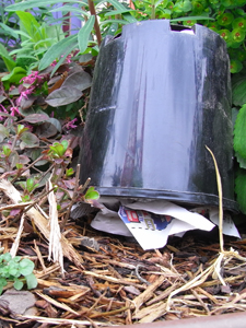 Sustainable earwig control | Sustainable Gardening Australia