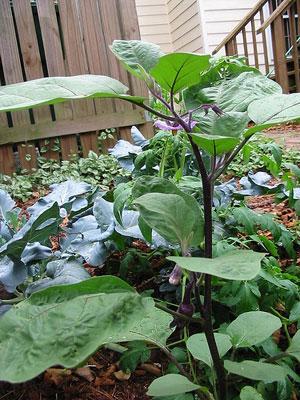 Tips For Growing Eggplants Sustainable Gardening Australia