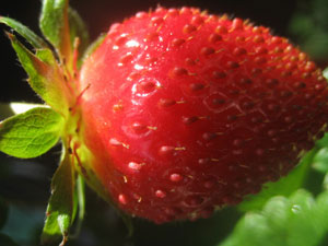 I think the Sunshine Coast in Australia is the Winter Strawberry Capital of the 2kins4.cf maybe we. Mary Mccloskey. I believe Dukes Farms and Parksdales were the first to grow strawberries during late fall and winter. Parksdales was the first to use plastics. Obviously this caught on.