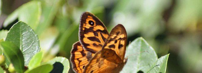 Tips For Attracting Butterflies Sustainable Gardening Australia