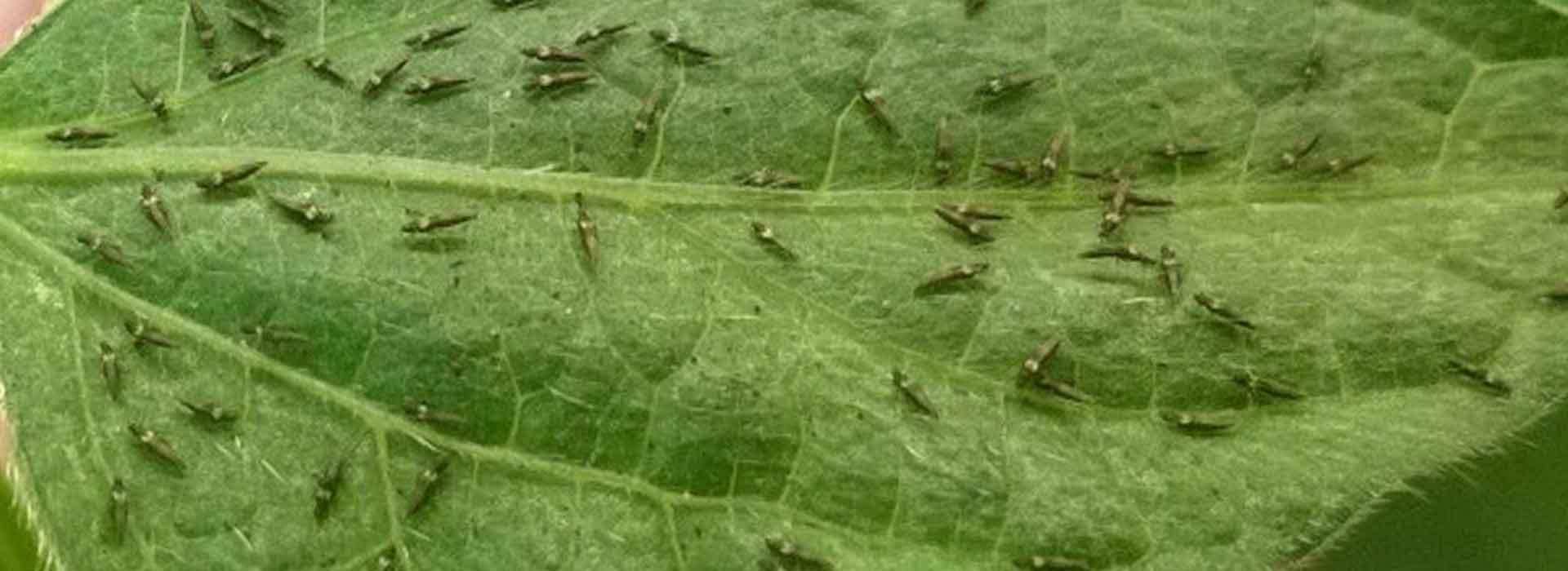 Sustainable thrip control | Sustainable Gardening Australia