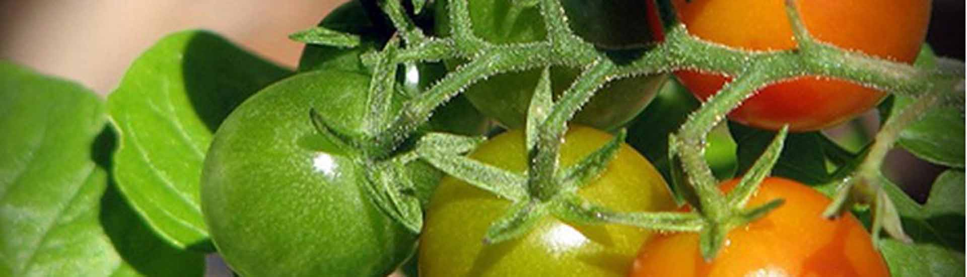 Tips For Growing Tomatoes Sustainable Gardening Australia