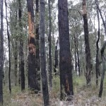 Burnt Bush at Toolangi-ES (4) (800x600)