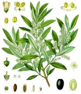 Olea europaea spp. europae