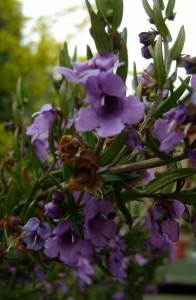 Prostanthera sp.