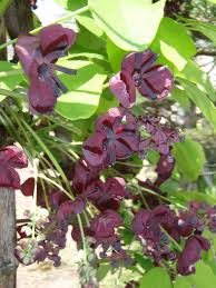 akebia, the chocolate vine