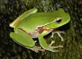 leafgreentreefrog