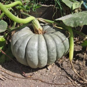 Pumpkin grown from saved seeds