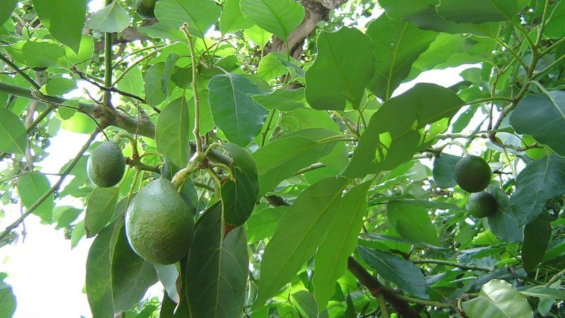 Growing Avocados Sustainable Gardening Australia