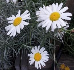 pyrethrum-daisy
