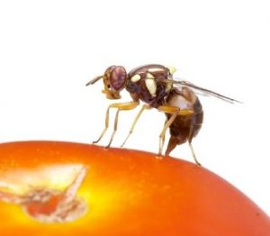 Case study of Queensland Fruit Fly prevention   Sustainable