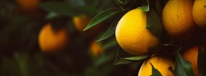 Growing Citrus - Online Master Class Delivered Via Zoom