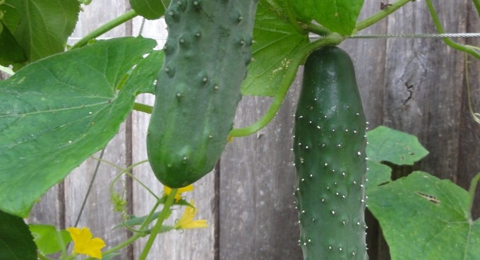 How long does it take for cucumbers to mature pic 199
